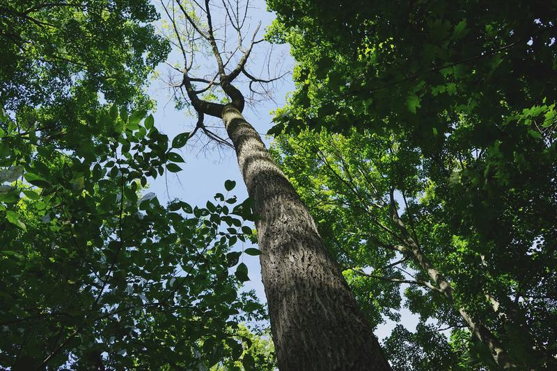 A dying ash tree infected by Emerald Ash Borer