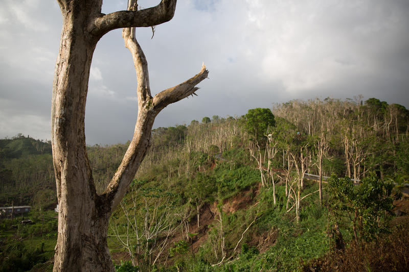 Trees stripped of their leaves by the hurricane along a mountain road in central Puerto Rico.