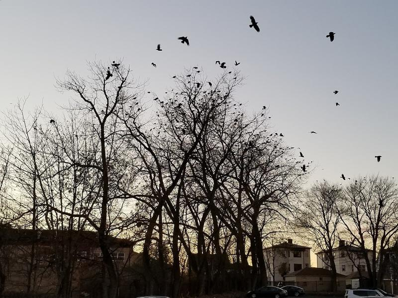 Hartford's crows roosting around Stop and Shop on New Park Avenue.