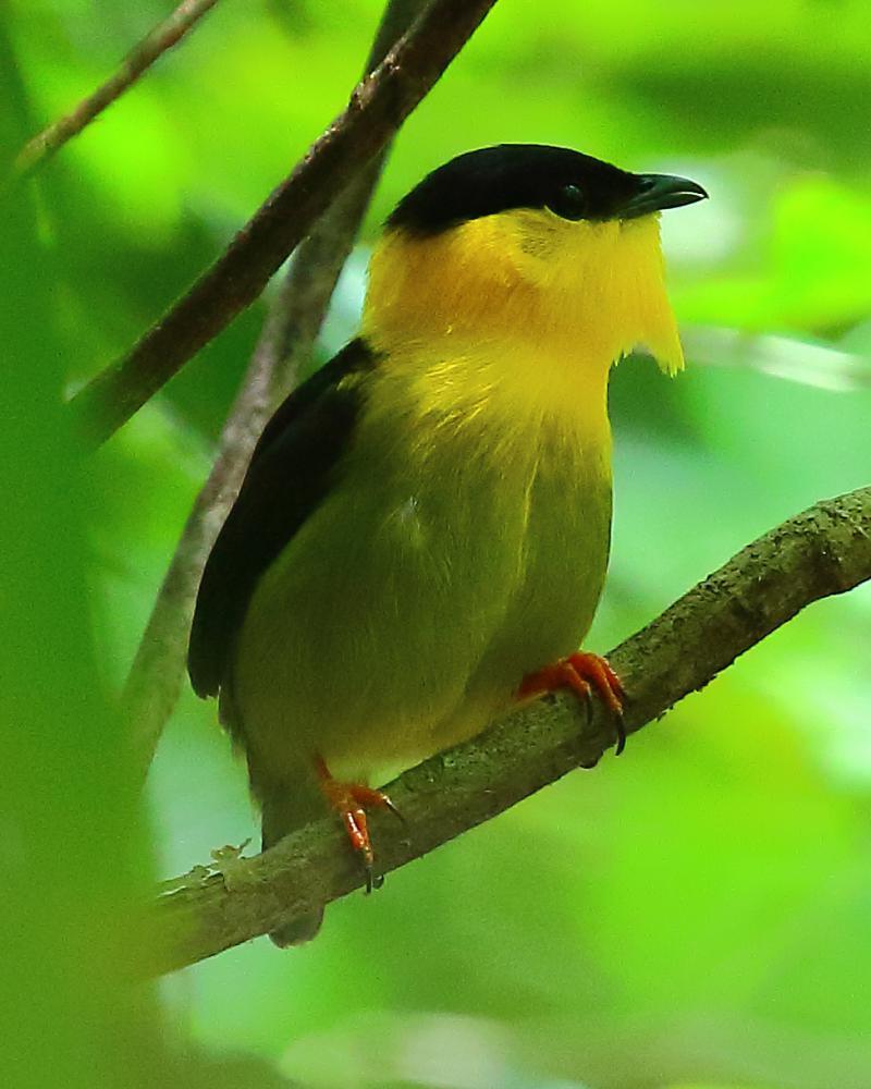 Golden Collared Manakin