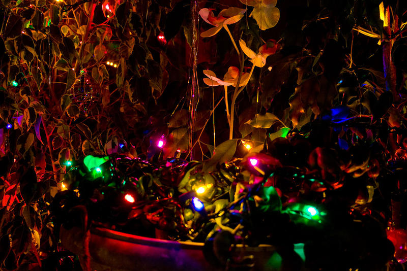Ficus trees are decorated for the holidays.
