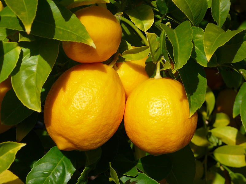 Lemon and other citrus trees are frequently grown in Florida or California, but it is possible to grow them in colder climates too.