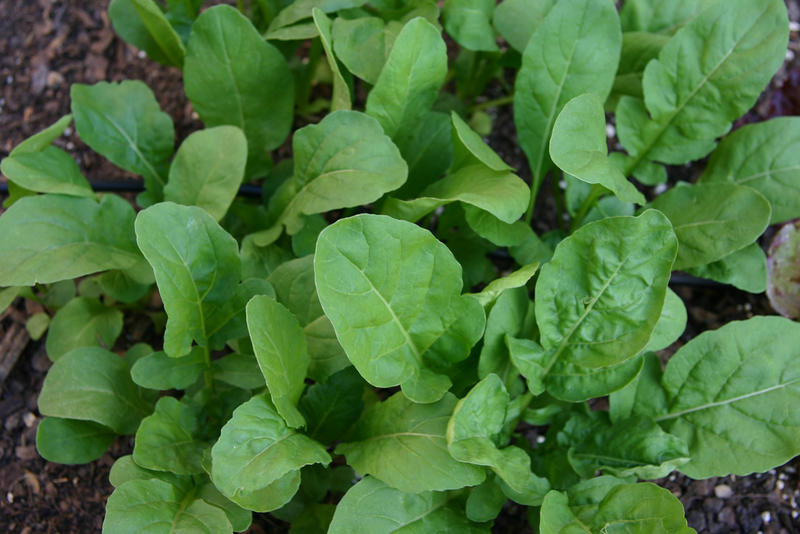 This arugula is ready for a salad.