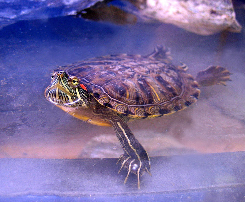 A red-eared slider.