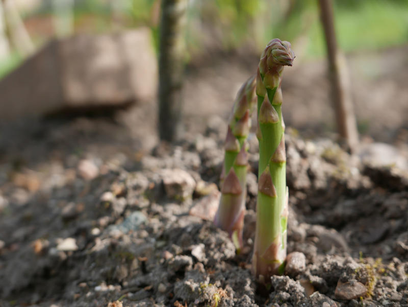 Asparagus shoots begin to rise from the ground.