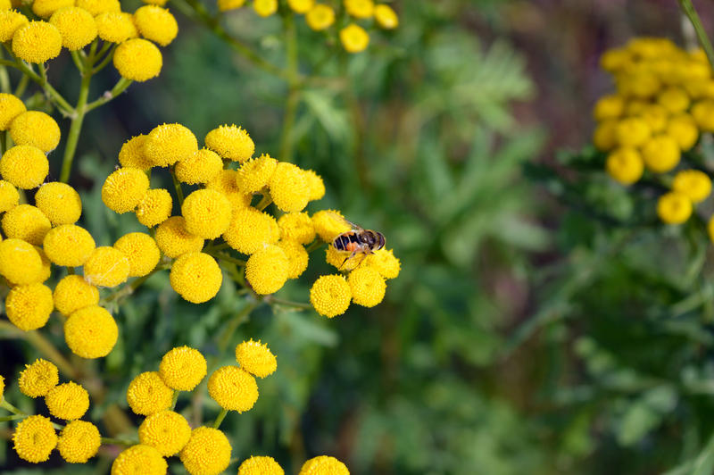 Tansy flowers are found to reduce the number of pests in a garden.