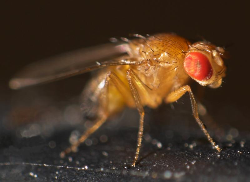 Fruit fly (Drosophila melanogaster).