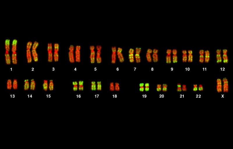 Human karyotype (female), showing the 23 pairs of chromosomes