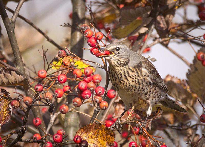 Birds will eat berries, whether they're in the wild, or in your garden.