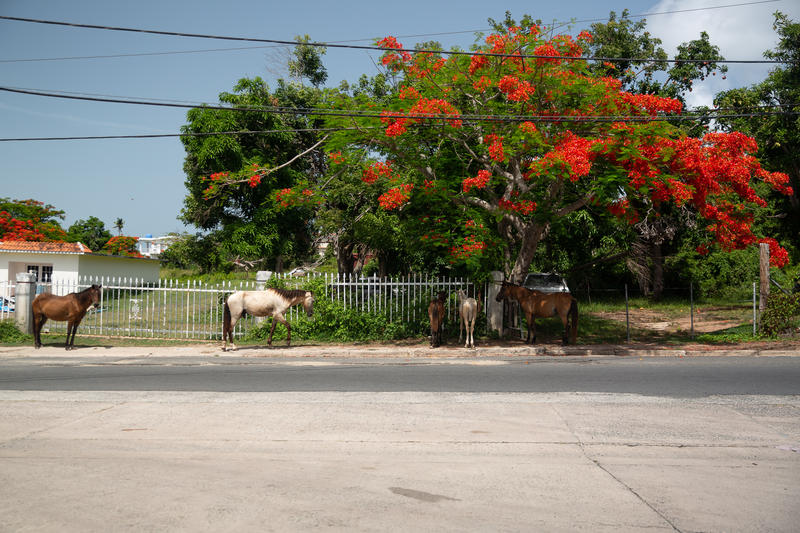 Horses on the side of the road in Vieques.