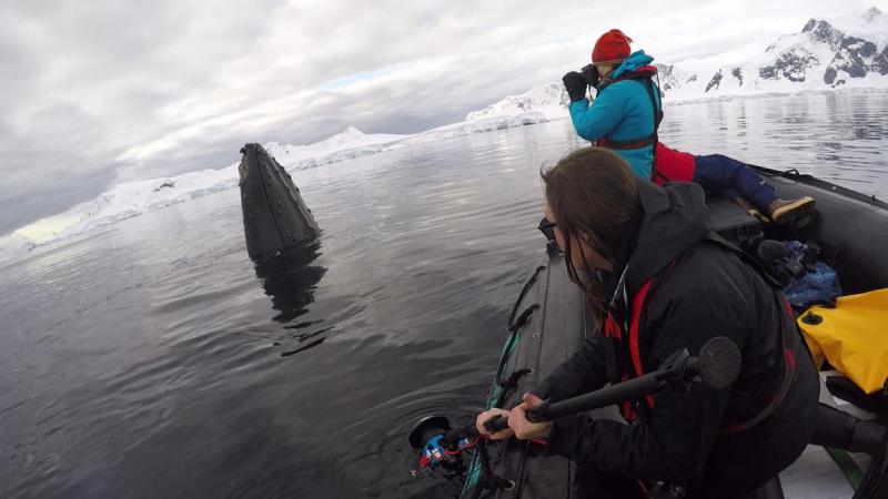 Tagging whales a humpback whale in Wilhelmina Bay, Antarctica.