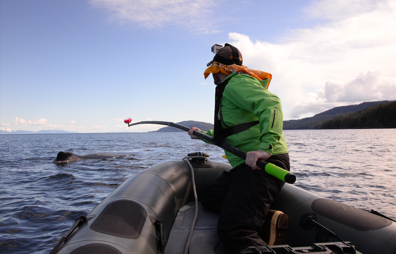 Nick Pyenson tagging a humpback whale in Alaska with a removable suction-cup tag to record the whale's movements underwater