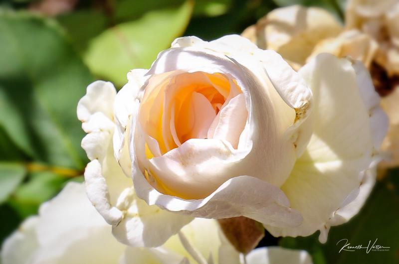 The Bonica rose is one of the author's favorite shrub roses.