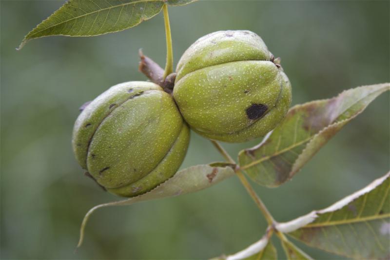 Shagbark hickory nuts.
