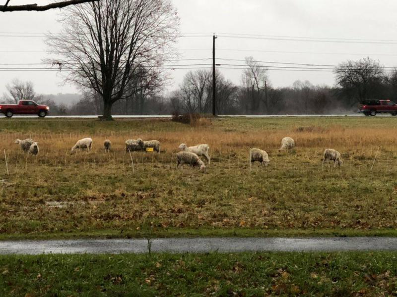 A herd of sheep on Lebanon's town green were used to mow hay.