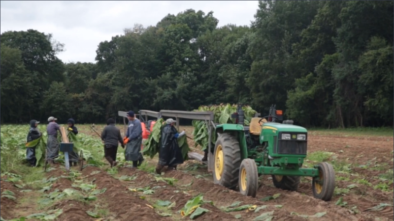 The harvest at the Foster Farm in East Windsor