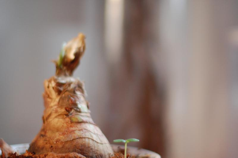 So you got an amaryllis bulb for Christmas. What now?