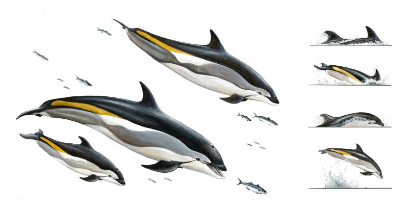 Atlantic white-sided dolphins.