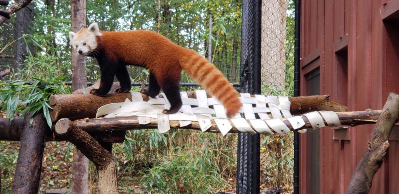 Red panda at the Beardsley Zoo.