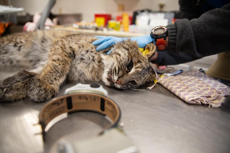 This female bobcat was tagged and outfitted with a GPS collar, which she'll wear for 300 days.