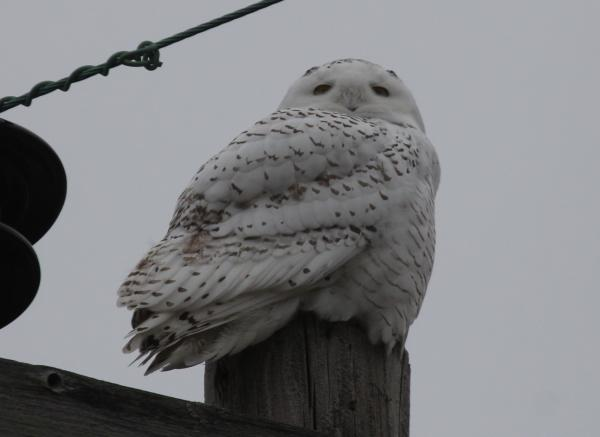 A Snowy Owl atop a light post on Route 9 in Essex, CT.