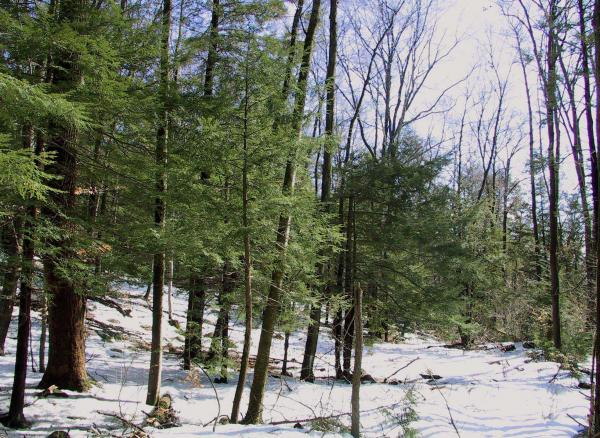 Hemlock trees that have been inspected by the Connecticut Agricultural Experiment Station. Fewer trees may require insecticide this coming spring.