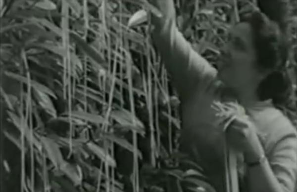 A screenshot from a broadcast of the spaghetti harvest BBC April Fool's Day joke.