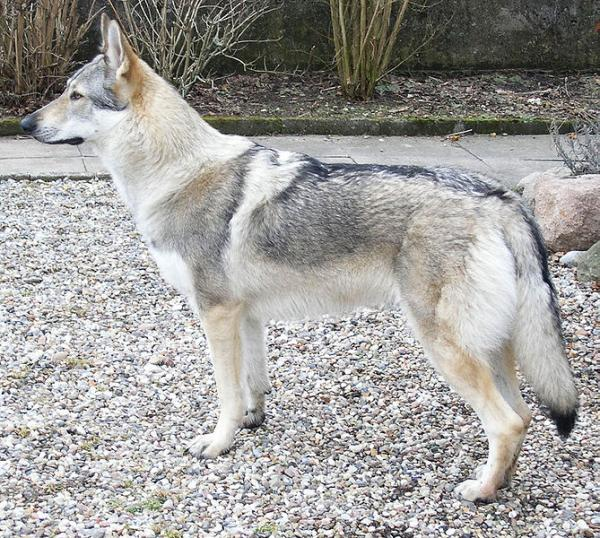 A Czechoslovakian Wolfdog. The breed is sometimes used by European Police forces. Monty Sloan said pedigrees of European wolfdogs are much more well kept then those of their American counterparts.