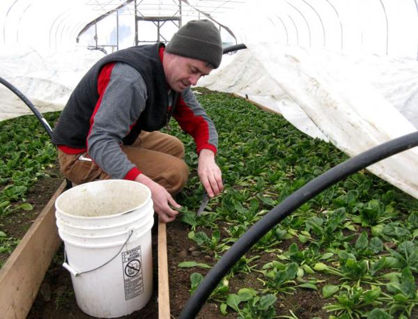 Joe Buley of East Montpelier, Vermont, tends his winter greenhouse spinach.