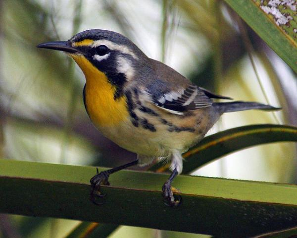 Have you seen this bird? It's a yellow-throated warbler.