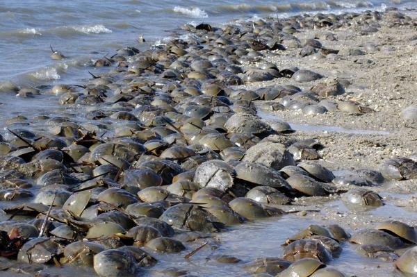 A group of horseshoe crabs washed up on the beach.