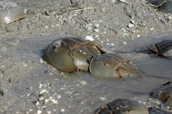 A mating pair of horseshoe crabs. The male attaches in the back and externally fertilizes the eggs laid by the female. Mated pairs can stay together for weeks.