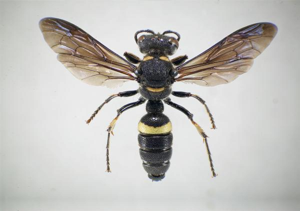 Cerceris fumipennis, pictured above, is a native predator of emerald ash borer beetles. They don't sting humans or pets. Scientists are using the wasps to track the invasive bugs around the state.
