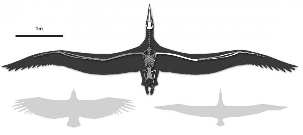 Line drawing of World's Largest-Ever Flying Bird, Pelagornis sandersi, showing comparative wingspan. Shown left, a California Condor, shown right, a Royal Albatross.