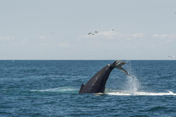 A humpback whale at the Stellwagen Bank National Marine Sanctuary.