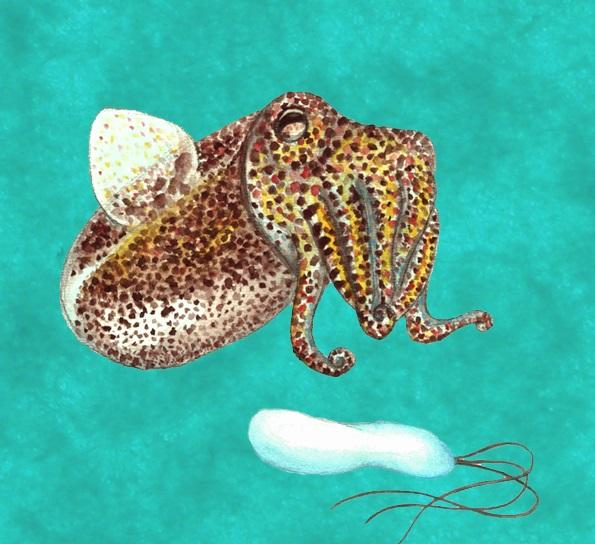 "This painting of Euprymna scolopes, also known as the Hawaiian bobtail squid, by Andrea Suria is offered as a ""thank you"" gift to certain donors to the Uconn squid project."