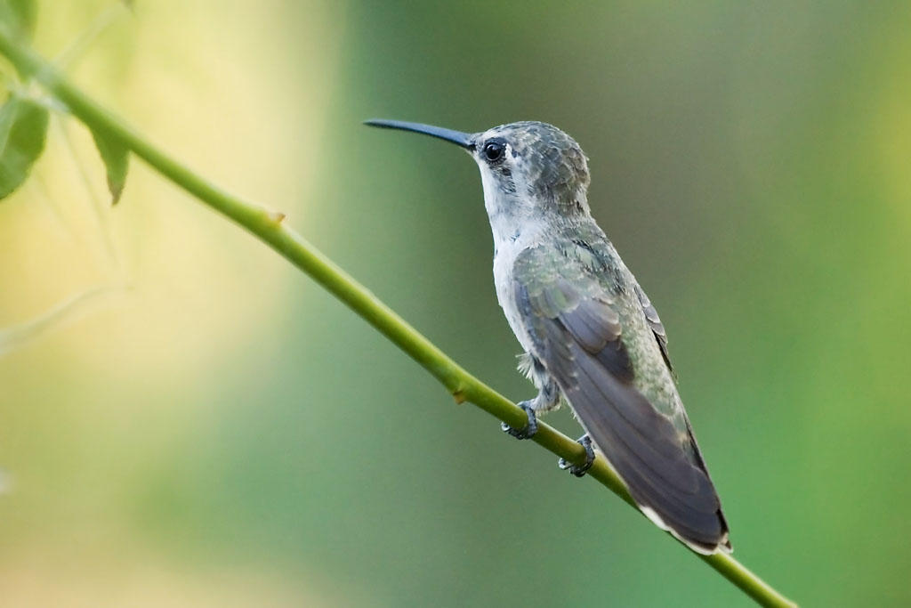 Listen Closely Theres Something Hidden In This Hummingbirds Chirp