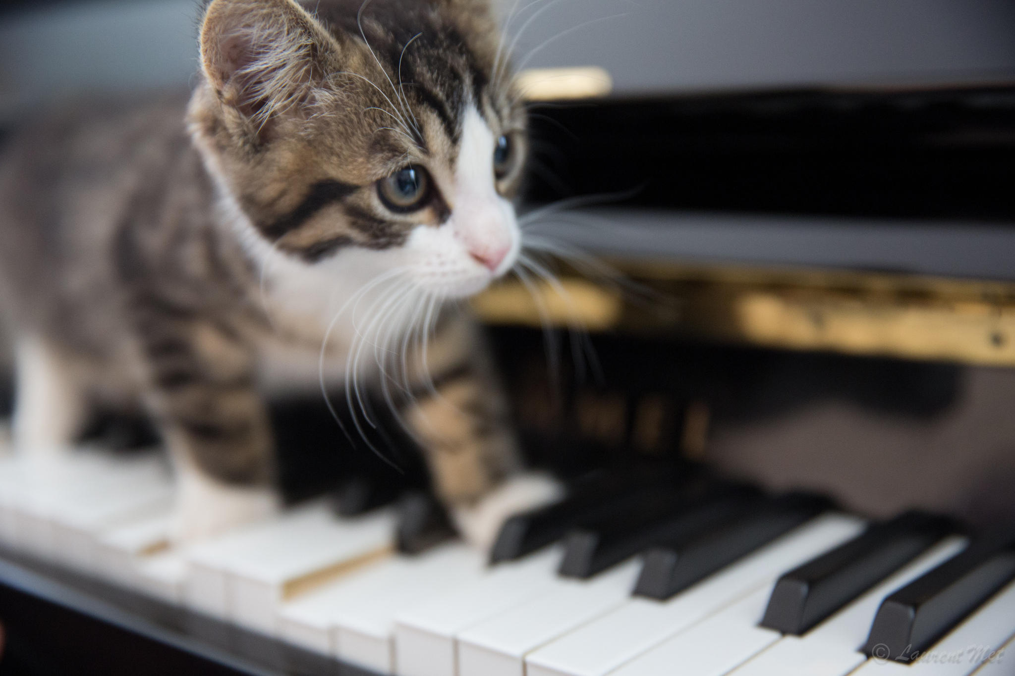 kitten on the keys pdf
