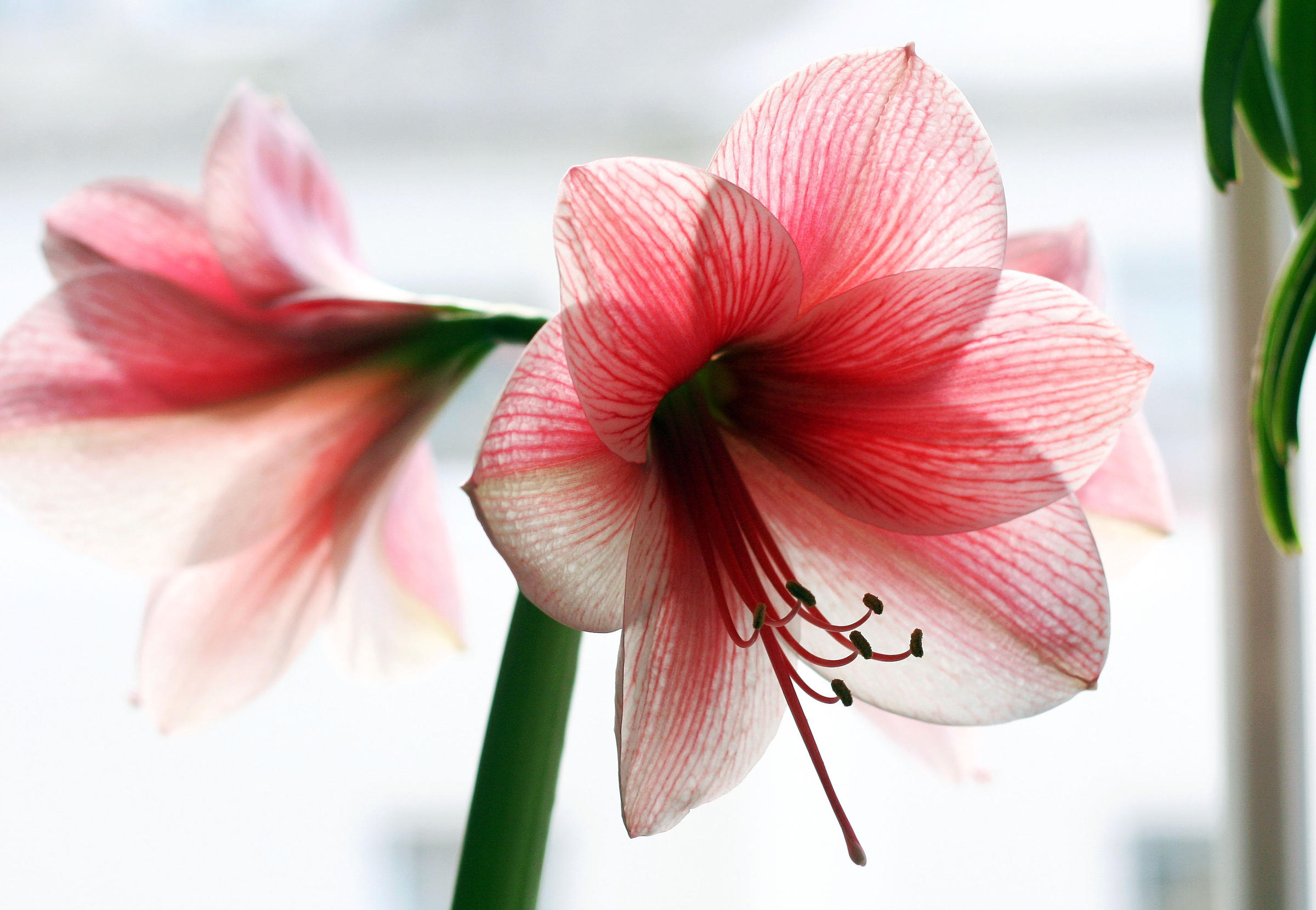 Connecticut Garden Journal: Fall in Love With Amaryllis | WNPR News