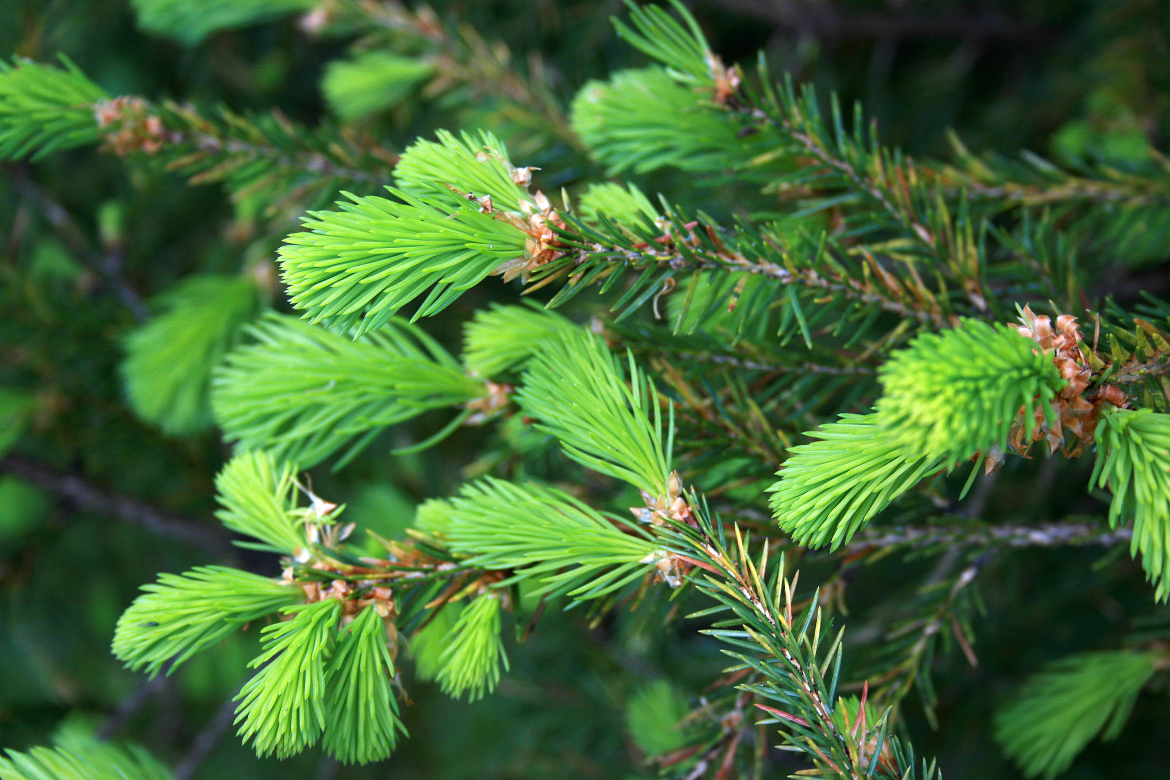 new growth on a christmas tree - Live Christmas Trees For Sale
