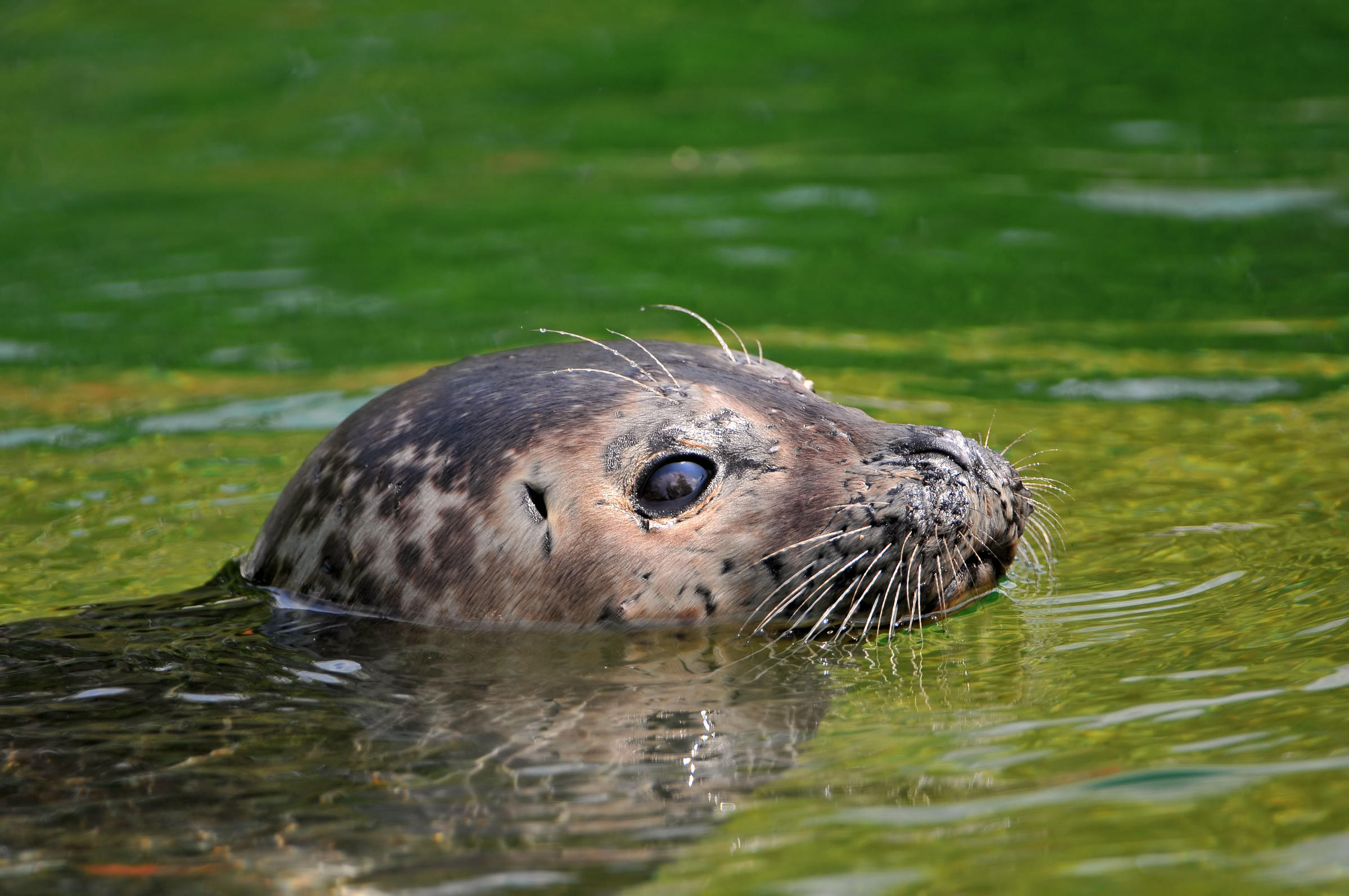 Six seals spotted off waters on long island 39 s north shore - Long island swim school garden city ...