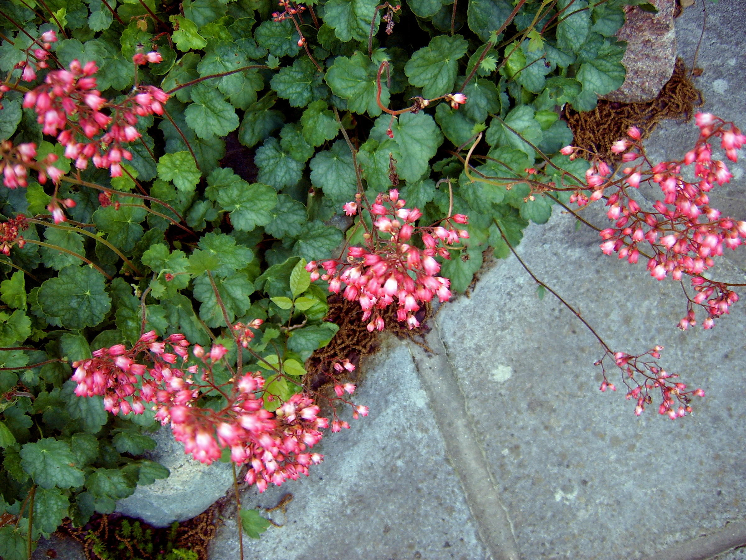 Connecticut Garden Journal Coral Bells Connecticut Public Radio