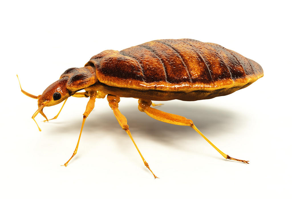 How Are Bed Bugs Created