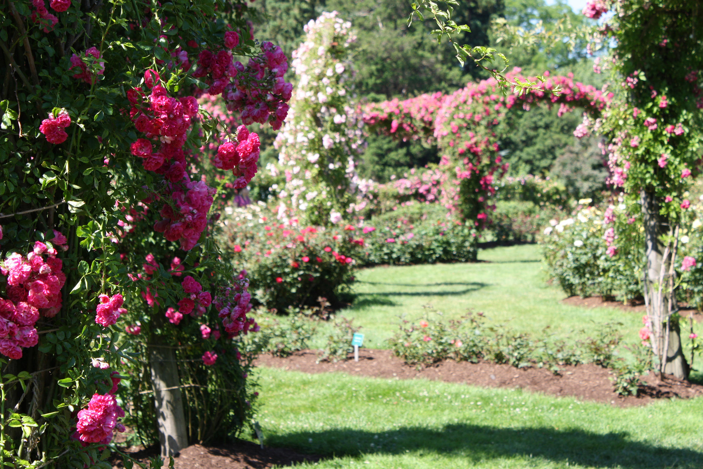 Climbing Rose Arches At The Rose Garden At Elizabeth Park In Hartford.