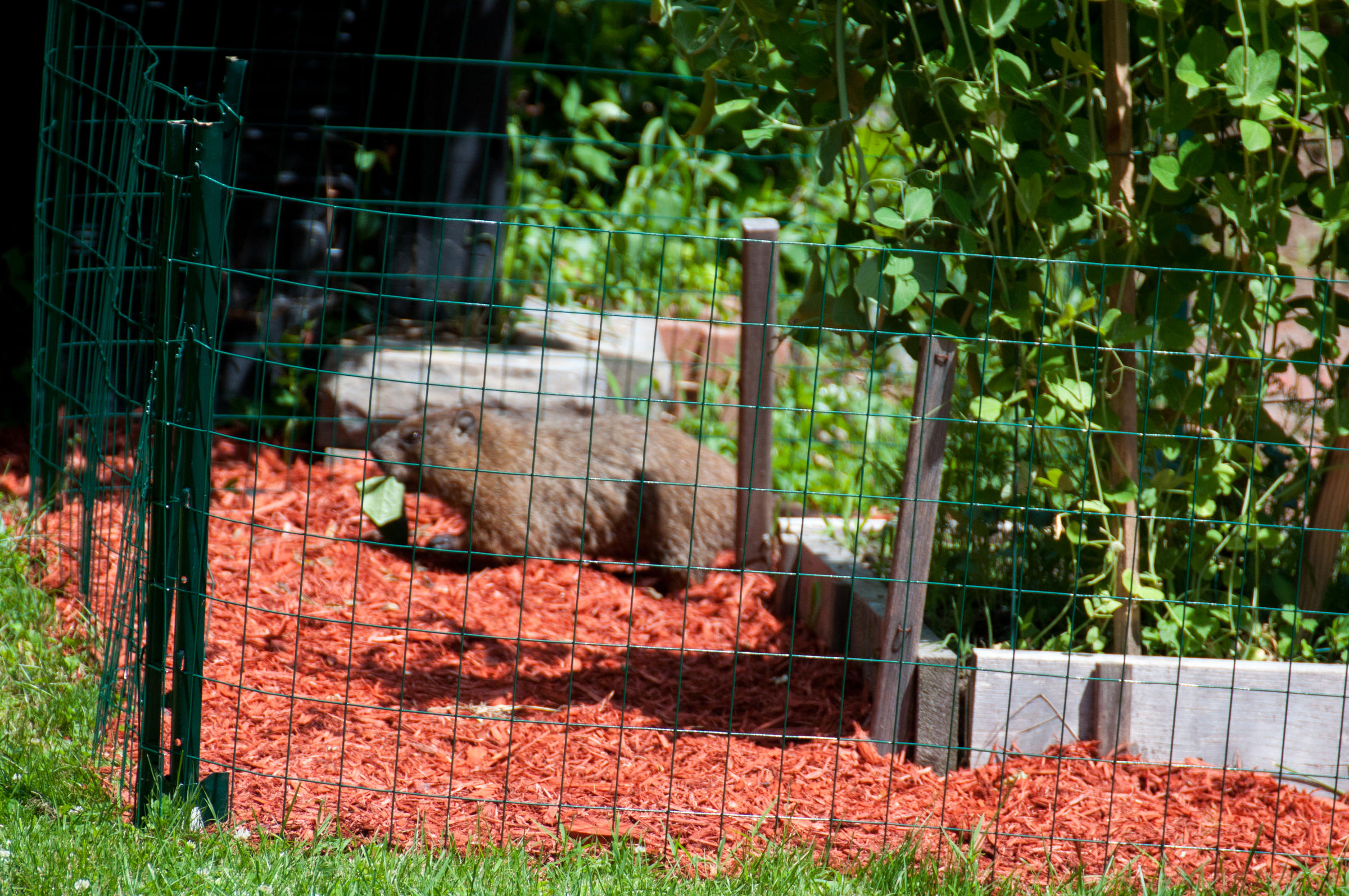 How To Keep Woodchucks Out Of Garden Garden Ftempo