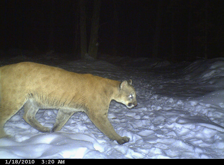 Cougars in connecticut