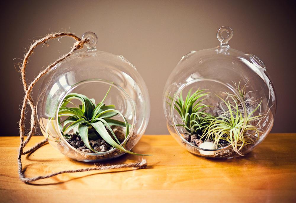 Air Plants In Glass Terrariums.