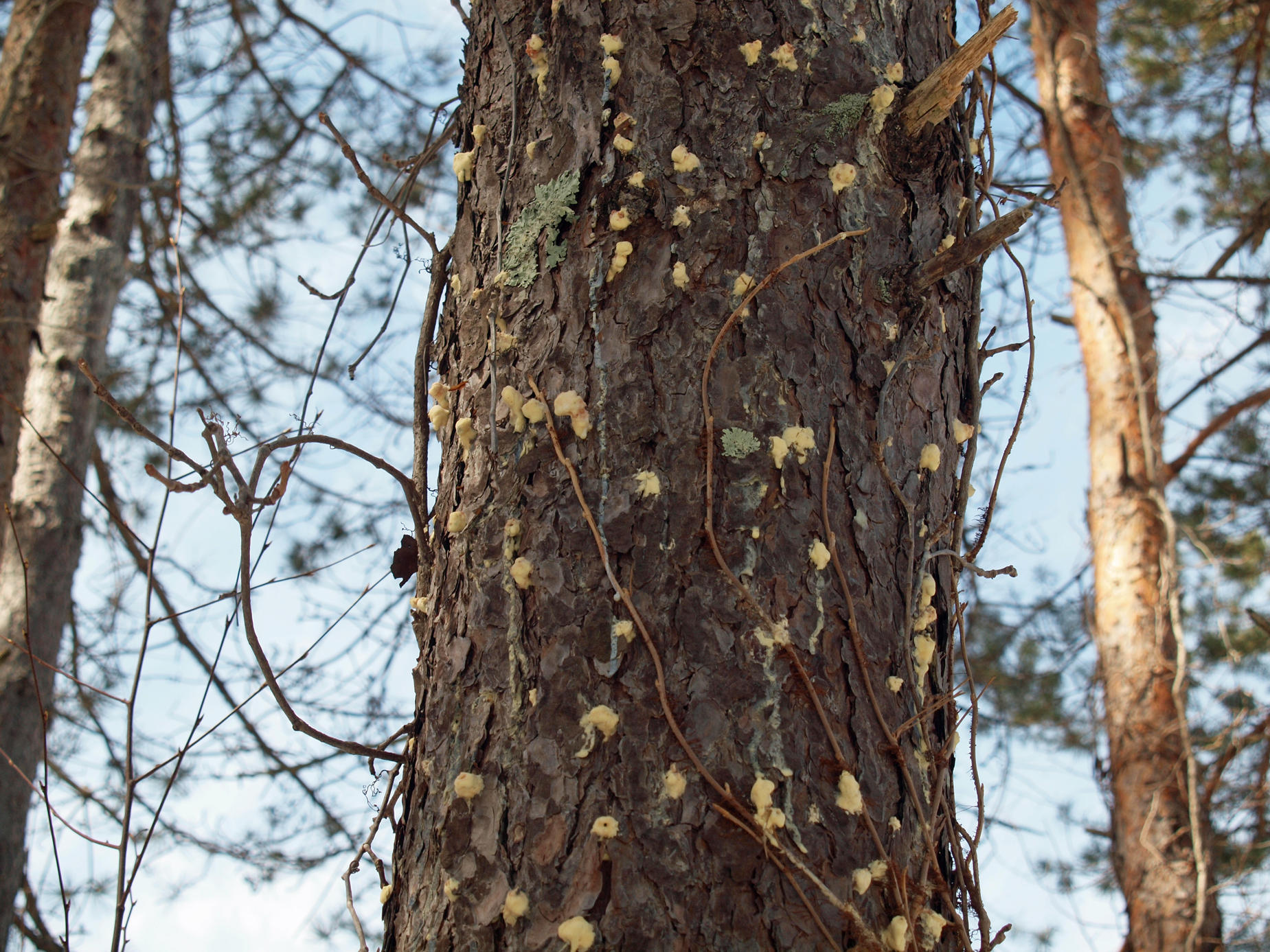pine beetle essay 24 brunelle et al (2008) [21] demonstrated that the presence of mountain pine  beetle, d ponderosae  with other bark beetle species, the dynamics of spruce  beetle populations are influenced by interactions  essay, no.