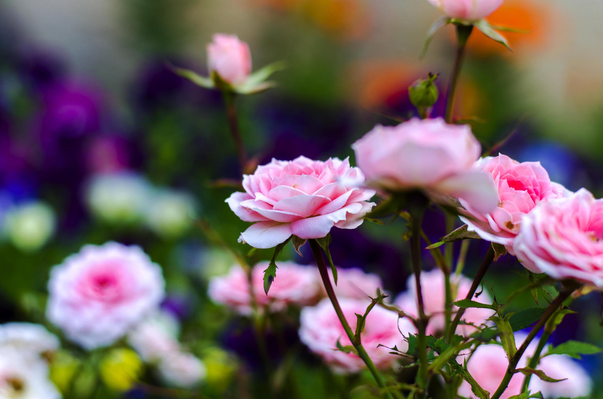 Rules for the care of miniature indoor roses