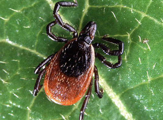 CDC Warns of Potentially Bad Tick Season